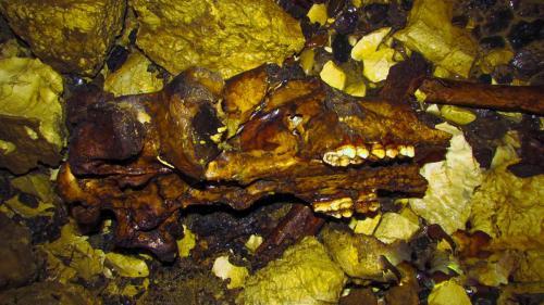 Пещерный медведь, череп